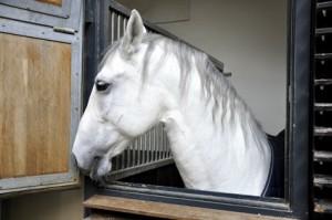 Konie Lipicańskie