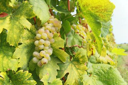 Degustacja wina Chorwacja