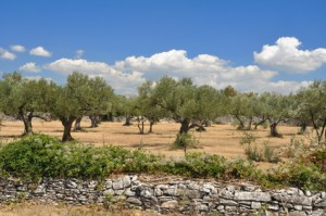 Zbiór oliwek w Chorwacji